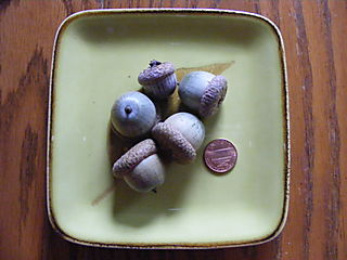 Acorn pincushion aug 2008 001
